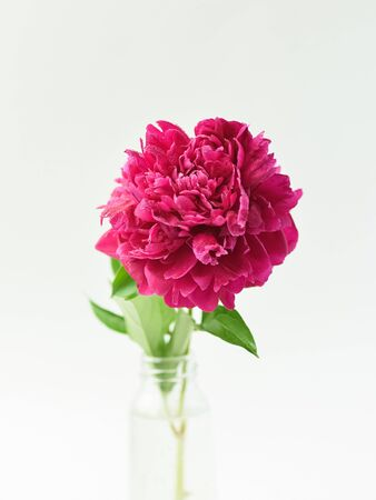 Red peony flower in a glass vase on a white isolated background. Fresh flowers . Selective focus. Vertical frame Imagens