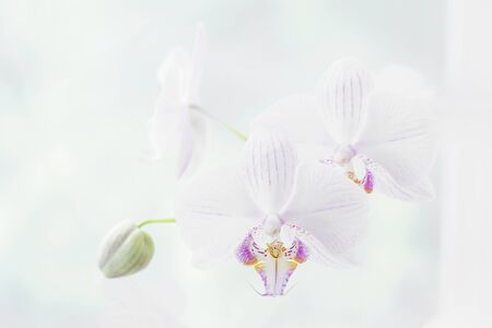 White orchid flower close up. Selective focus. Horizontal frame. Fresh flowers natural background.