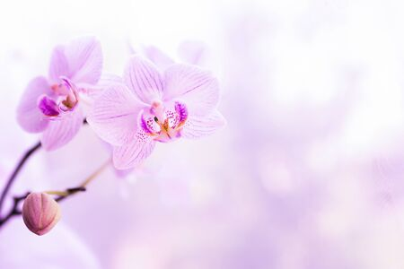 A flower of magnificent pink orchid close up. Selective focus. Horizontal frame. Fresh flowers natural background macro.