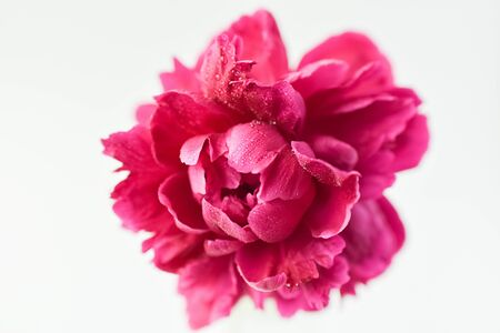 Red peony flower in a glass vase on a white isolated background. Fresh flowers . Selective focus. Horizontal frame.