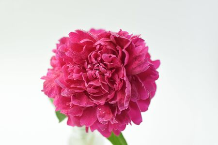 Red peony flower in a glass vase on a white isolated background. Fresh flowers . Selective focus. Horizontal frame. Imagens - 128891011