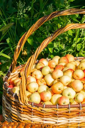 Fresh ripe organic apples in a large wicker basket on green grass outdoors. Autumn and summer harvest concept. Biofarm 스톡 콘텐츠 - 128889125