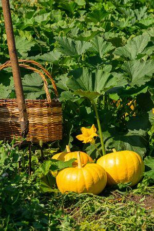 Fresh ripe organic pumpkins on green grass outdoors. Autumn and summer harvest concept. Biofarm and gardening. 스톡 콘텐츠 - 128889129