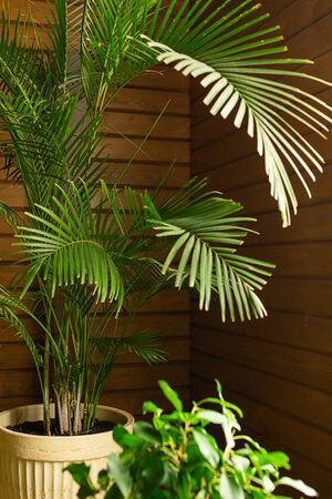 A large green tropical palm tree plant in a pot in the conservatory conservatory. Flowers in the interior. Stock fotó - 130464695