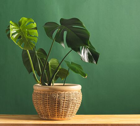 Tropical flower monstera plant with large leaves in ceramic potted wooden table against the background of a green wall.