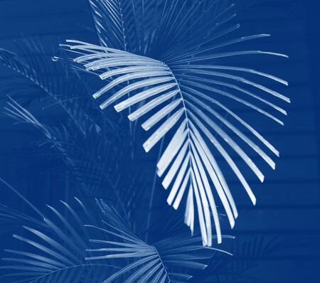 Palm tree branch tinted classic blue color. Copy space. Selective focus close up. Minimalism concept