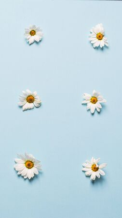 Floral summer background. White small daisy flowers lie in rows of patern blue background. Flat lay template copy space.