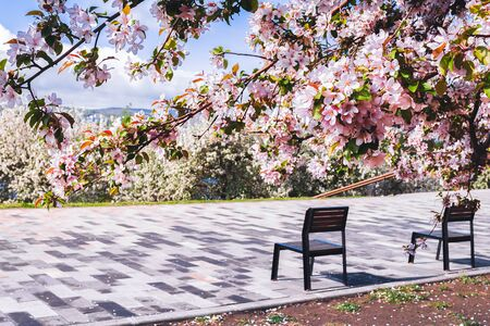 Two benches under pink flowering trees in outdoor park. Selective focus. Horizontal frame copy space
