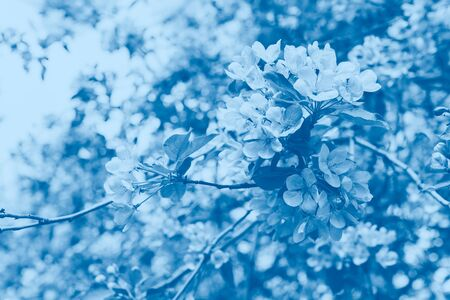 Spring flowering branches of sakura apple tree close-up selective focus. Trendy monochrome blue tinting. Copy space