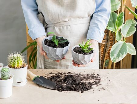 A woman is gardening near the window of the house, replanting a green plant in a pot. The concept of home gardening.