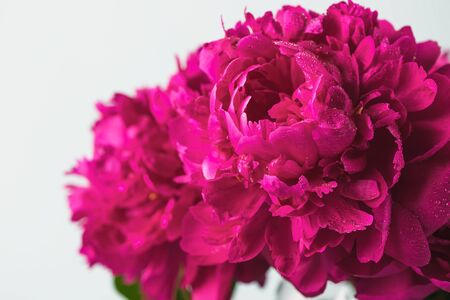 Beautiful burgundy pink peonies closeup selective focus. Half isolate