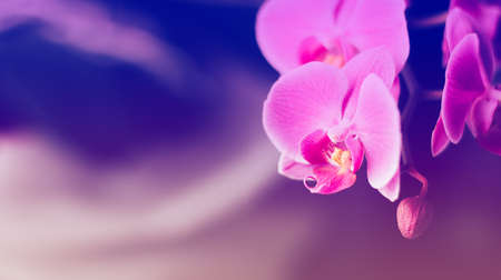 Beautiful fresh orchid flower close up copy space. Floral background.