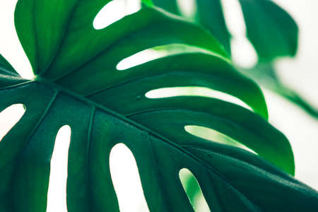 Fresh leaves of tropical plant monstera blurred focus Minimalism concept. Natural flower background