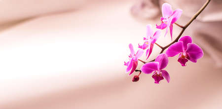Beautiful fresh pink orchid flower close up copy space. Floral background. 免版税图像
