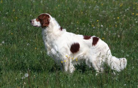 vigilant: Irish red and white setter dog standing in the field Stock Photo