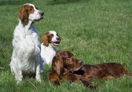 Two red and white irish setters and a red Irish setter in the meadow photo