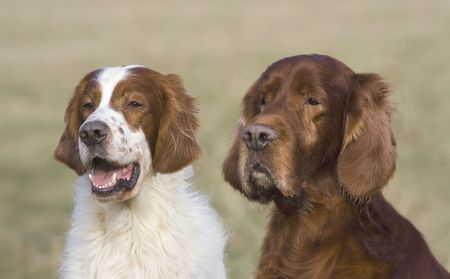 Two Irish setter (a red & white and a red) males Stock Photo - 4140153