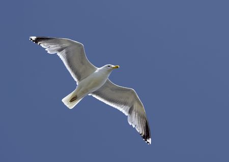 Flying seagull, wings spread wide, clear blue sky Stock Photo - 5320022