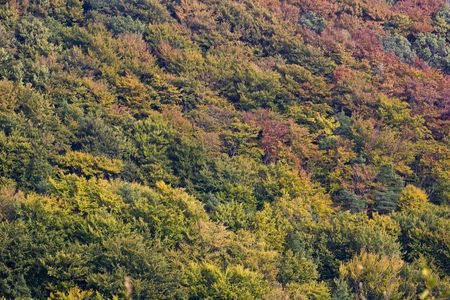 Canopy of beech and pine forest in autumn colors - for background photo