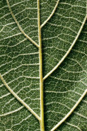 pubescent: Close up shot of a downy leaf back side Stock Photo