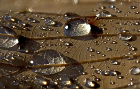focus stacking: Close-up of dozens of raindrops on fallen brown leaf