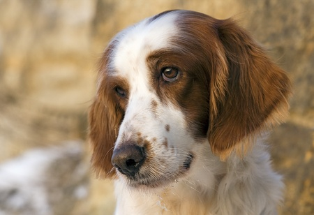 Portrait of a female Irish red and white setter Stock Photo - 8588020