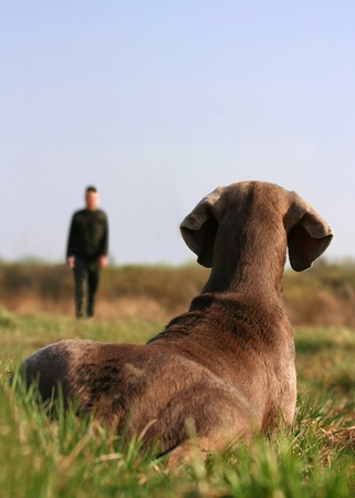 obedience: Perro Braco tirado en el pasto presta atenci�n para el formador