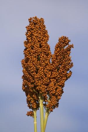 panicle: Single panicle of sorghum under blue sky Stock Photo