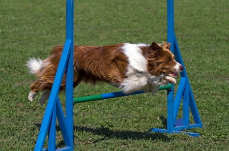 agility dog: Brown dog exercising in an agility competition Stock Photo