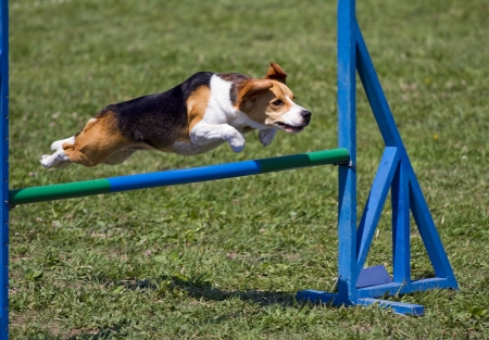 leap: Beagle bitch exercising in an agility competition Stock Photo
