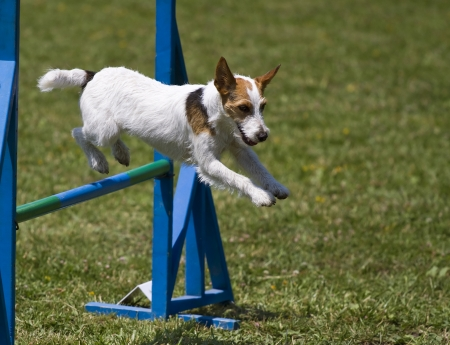 agility dog: Small dog jumps hurdles in an agility competition Editorial