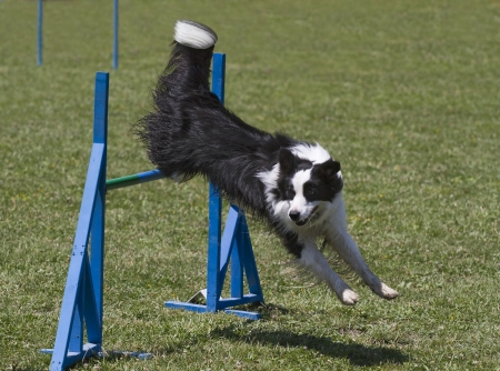 Black and white border collie exercising in agility course