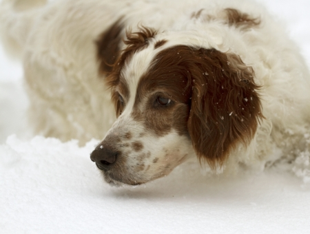 Portrait of a male Irish red and white setter searching in the deep snow photo