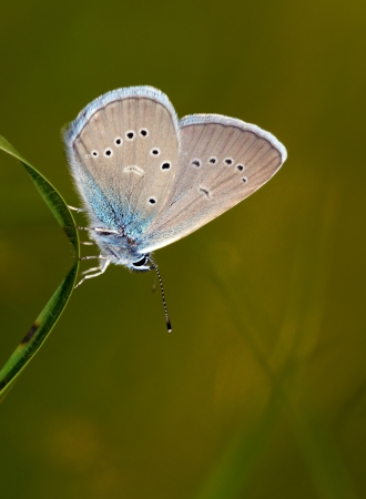 dusky: Close up shot of a dusky large blue (Maculinea nausithous) butterfly