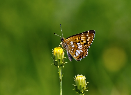 duke: Duke of Burgundy (Hamearis lucina) fritillary sitting on a flower