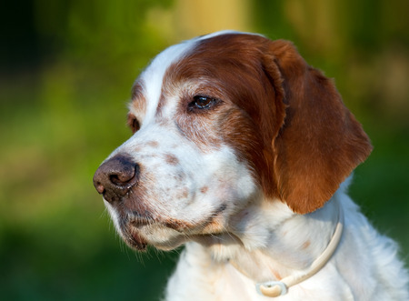 piebald: Portrait of a senior male Irish red and white setter