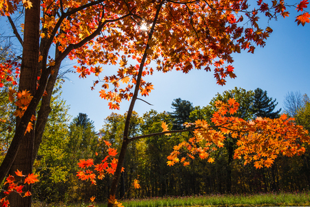 The red maple leaves tree