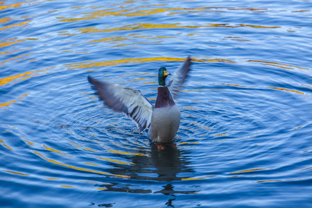 wild ducks flapping its wings
