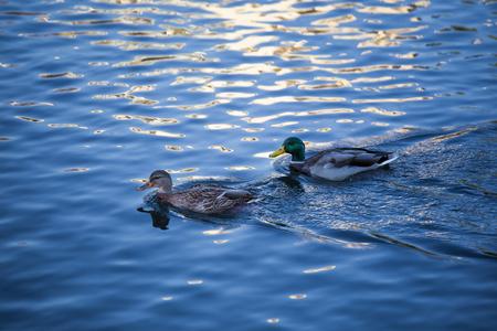 wild duck on lake