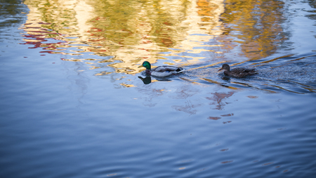 The wild duck on lake