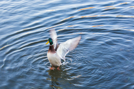 Wild duck flapping its wings