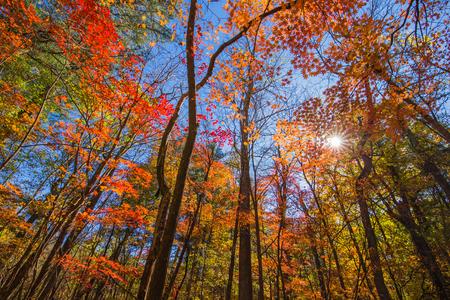 Autumn maple tree low angle view 版權商用圖片