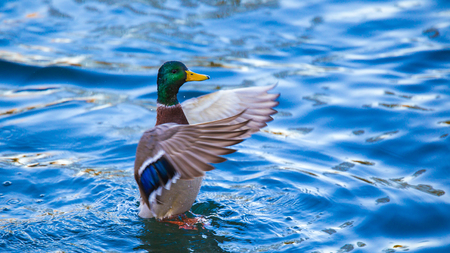 A flapping wild duck
