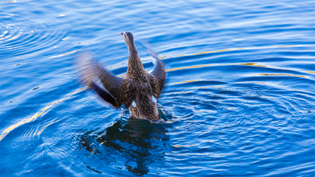 A flapping duck