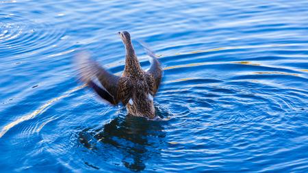Een wapperende eend