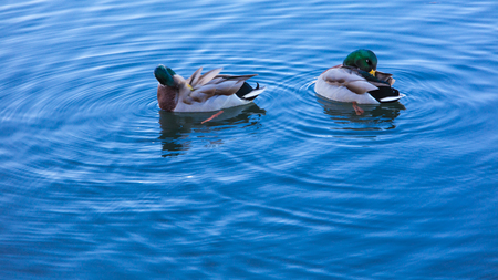 The rest of the wild ducks