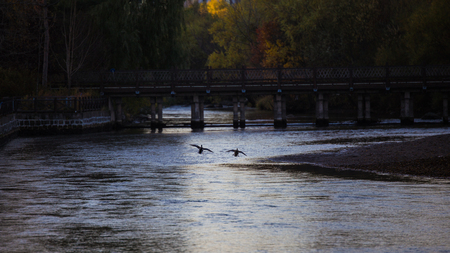 wild duck flying on river