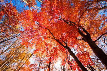 Autumn red maple 版權商用圖片
