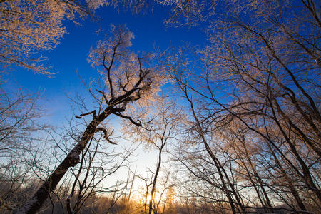 trees at forest under sunset in snow 版權商用圖片