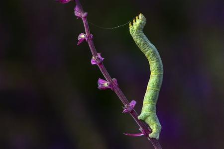 幼虫 (小さな橋虫) は、節足動物、昆虫、鱗翅目に属し、足の蛾の幼虫。 写真素材